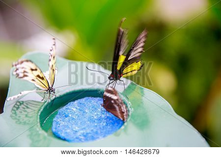 Dunedin, New Zealand - Febr 10, 2015: Butterflies Eating From A Plate With Blue Plastic Scrubber
