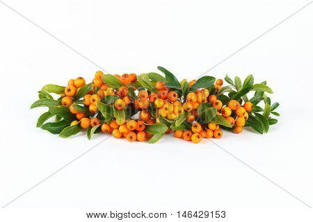 Orange rowan berries isolated on white background