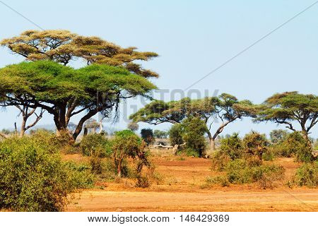 Landscape view with Acacia trees in Masai Mara Kenya