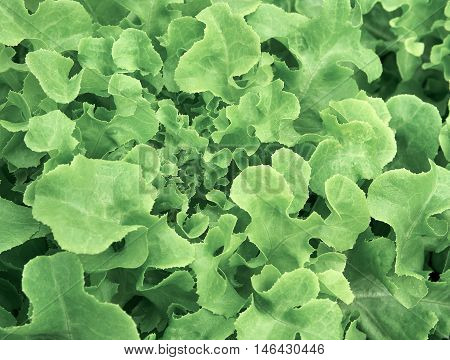 Organic lettuce, Used for food background , Food concept