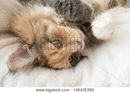 Blue tortie tabby with white Maine Coon cat laying with her eyes open on her white cat bed the paws up in the air and her stomach exposed.
