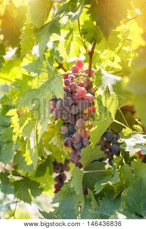 Red grape (purple grape) - wine grapes on grapevine lit by sunlight