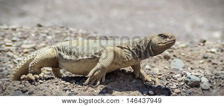 The Egyptian Mastigure (Uromastyx aegytius) is the largest lizard in Israel, it can reach a length of up to 80 cm and weigh up to 3 kg