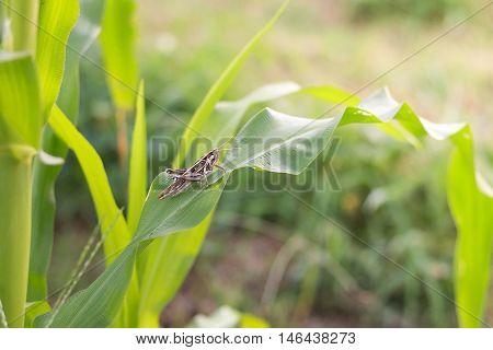 Grasshopper Eating Corn