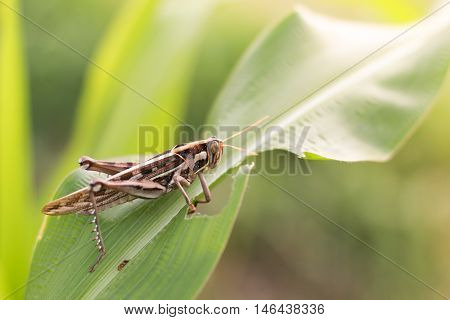 Grasshopper eating corn, grasshopper eating corn in farming