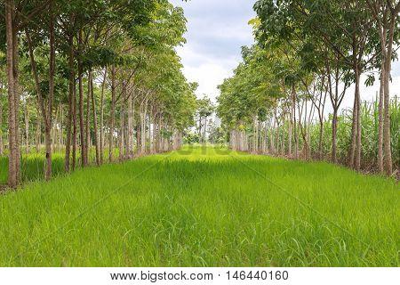 Paddy field interweaving Hevea brasiliensis , environment