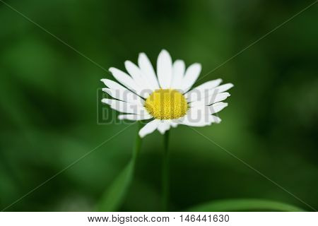 daisy flower in summer day closeup photo, shallow focus