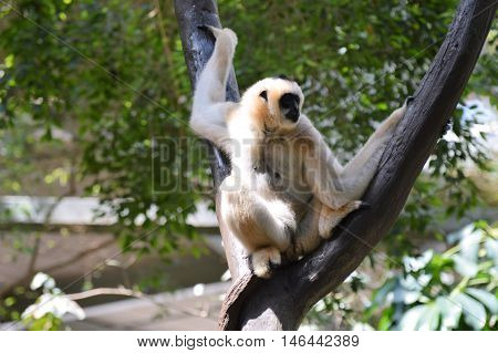 A white Gibbon sitting on the branch