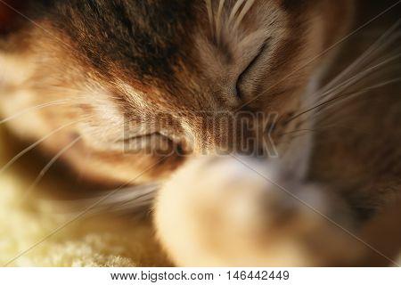 purebred sleepy abyssinian kitten resting on sofa, portrait