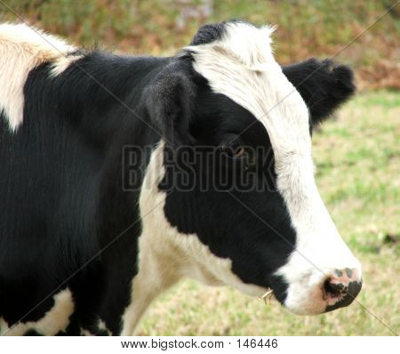 Animal - Cow Side On