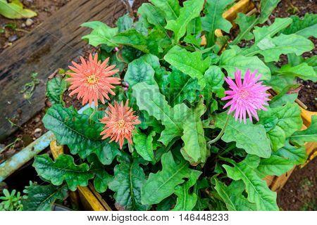 Beautiful two orange gerbera and one pink gerbera flower in garden with green leaves.