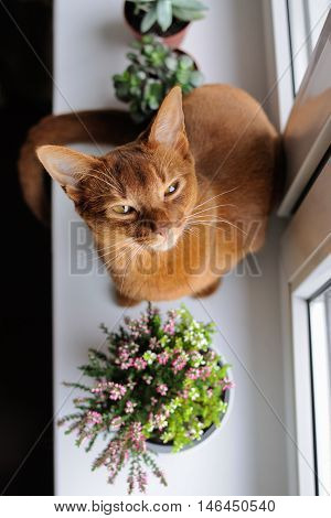 Purebred abyssinian cat sitting on the windowsill with heather and succulents indoor