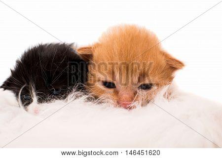 cat nursing newborn kitten. small animals kitty