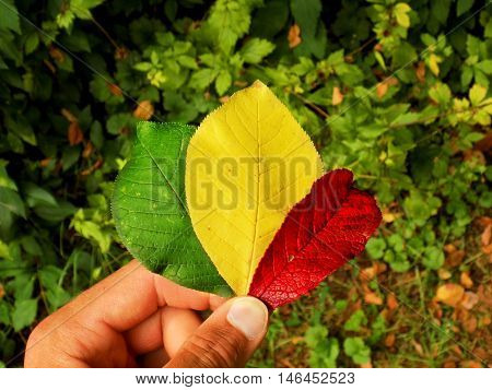 Three colors of autumn - green, yellow and red leaf in human hand, changing color leaves in deciduous forest in wild nature during autumn