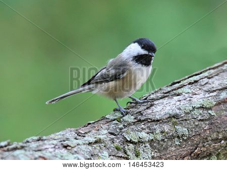 A black capped chickadee perching on a branch in Fall.