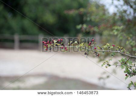 Wild berries at Frensham Common in Surrey