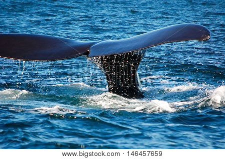 the beautiful whales in the Valdes Peninsula in Argentinaanimal