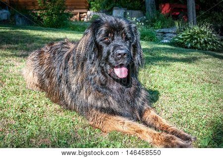 Leonberger dog closeup sit in the grass