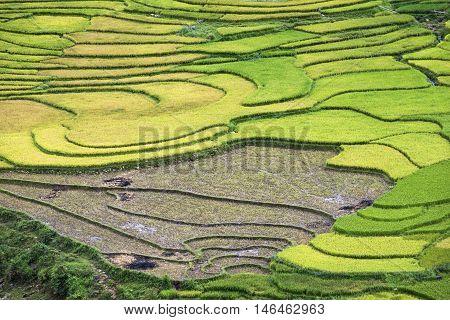 Terraced rice field in rice season in Sapa, Vietnam