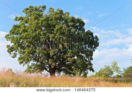 oak tree and prairie at landscape arboretum in minnesota