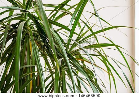 Close Up of a Dracaena Plant on a White Background