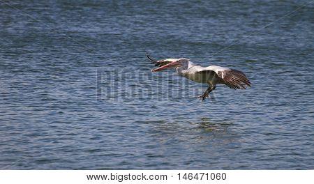 Spot-billed Pelican( Pelecanus Philippensis)