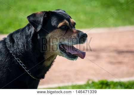 Portrait of cute rottweiler dog in the park