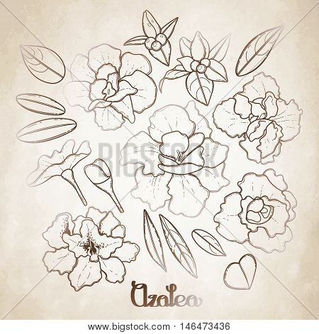 Azalea leaves and flowers collection. Vector graphic floral decorations isolated on aged texture