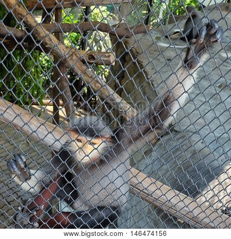 Animal and Wildlife Red Shanked Douc or Pygathrix Nemaeus Sitting in A Cage. A Species of Monkeys Native to Forests in South Asia.