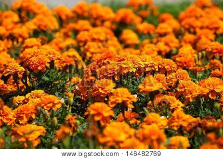A flower bed of bright fragrant beautiful orange luxuriantly blooming marigolds growing in the garden under the open sky in the open field. A plant with healing medicinal properties.