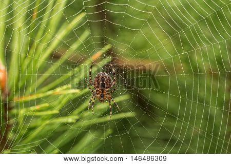 Spider In Green