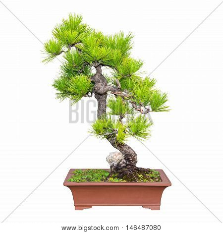 bonsai of five needle pine isolated on white