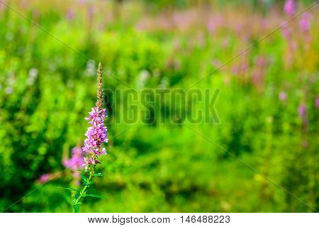 Closeup of a budding flowering and overblown Purple Loosestrife or Lythrum salicaria plant in its natural habitat. It is a sunny day in summertime.