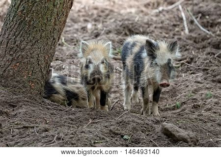 Young wild boars in the forest in the wild