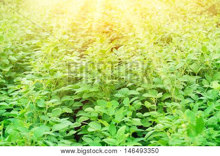 Rural landscape with fresh green soy field on sunny day