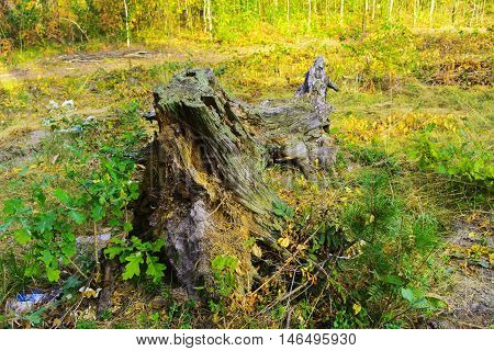 Stump from trees. Cutting down trees in the autumn forest