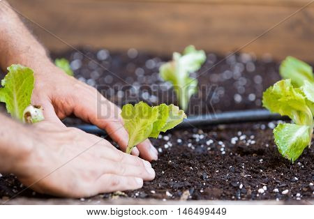 Organic garden with irrigation and small lettuce plants