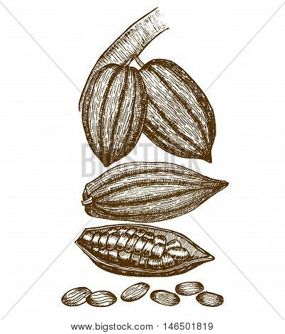 vector hand drawn graphic isolated cocoa beans
