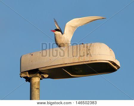 Arctic Tern Resting, Evening Sun