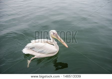 A great white pelican swimming in Walvis Bay Namibia.