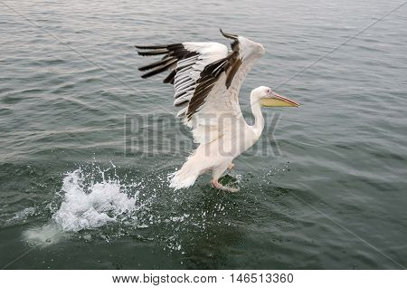 A great white pelican starting the flight in Walvis Bay Namibia.