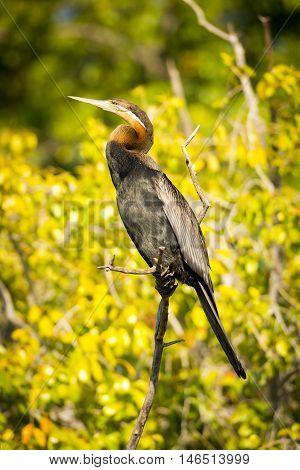 African Darter Bird Botswana