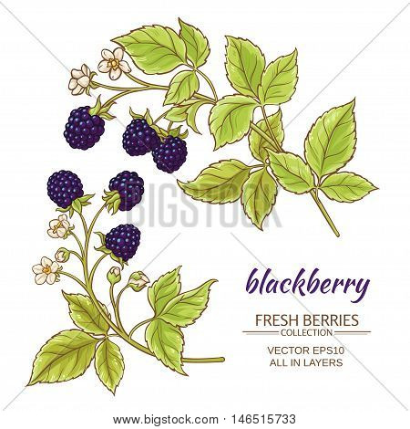 blackberry branches vector set on white background