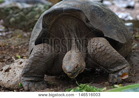 giant Galapagos tortoise at Charles Darwin Research Station, in the village of Puerto Ayora on Santa Cruz Island