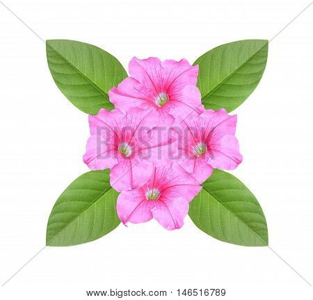 pink Petunia hybrida flower on white background