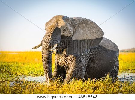 Chobe National Park Elephant