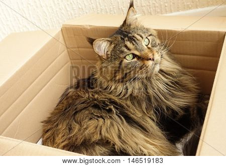 Lovely young golden brown tabby Maine Coon cat with very long and dense lynx tips is laying in his most loved cat bed a cardboard box and is looking out of the window.