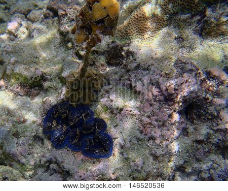giant clam Tridacna gigas in Asia close up