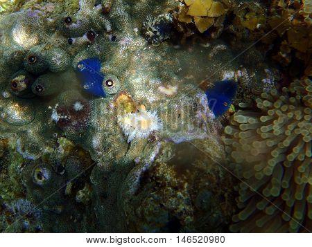 Christmas Tree Worm On Hard Coral