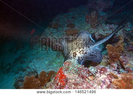 The Blotched Fantail Ray (taeniura Meyeni), Maldives